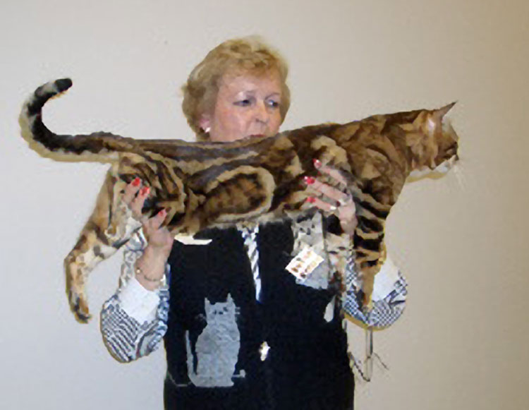 A truly magnificent Bengal male.