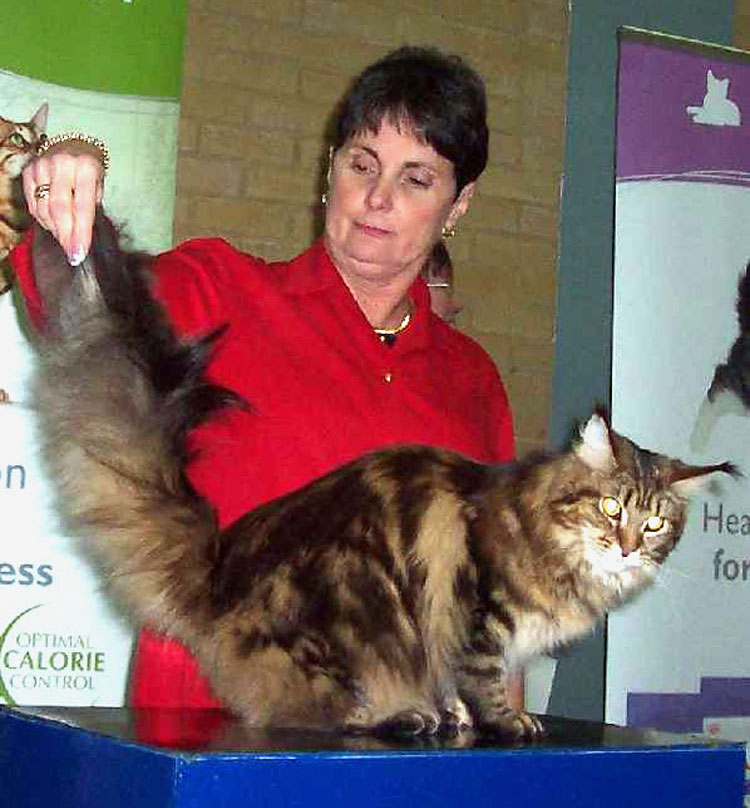 Pam Delabar judging a Maine Coon at the show