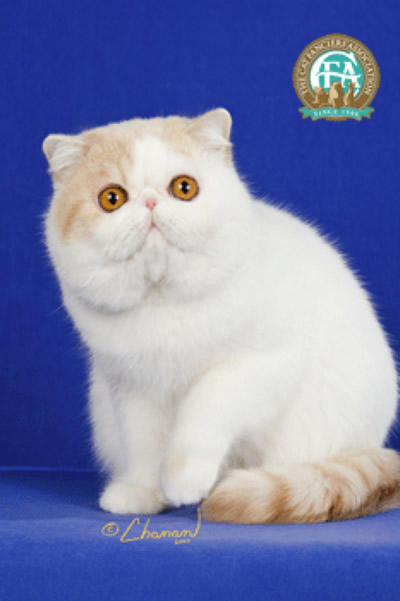 Breed Comparisons - Exotic Shorthair | World Cat Congress