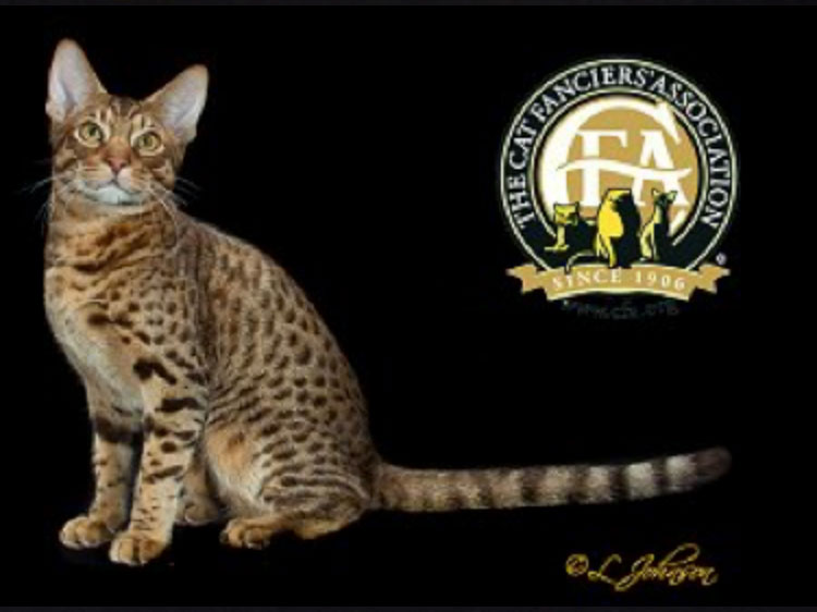 "The Kitten of the Year was GC, NW Dotdotdot BornintheUSA of Wild Rain (""Uncle Sam""), a Chocolate Spotted Male Ocicat, born on March 25, 2014."
